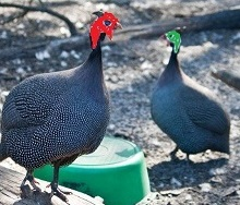 red and green guineas